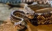 Ổ rắn đuôi chuông hàng chục con trốn dưới nhà kho