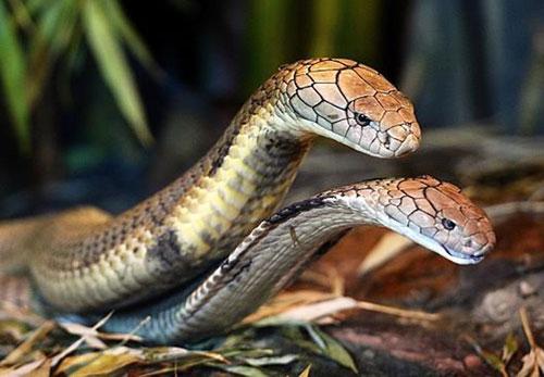 Hai con rắn hổ mang chúa ở Công viên bò sát Australia. Nguồn: Peter Clark.