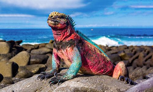 Cự đà biển, loài đặc hữu trên quần đảo Galapagos. Ảnh: Resident Magazine.