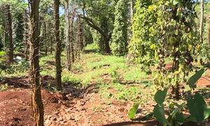Nông dân ở Bình Phước mất tiền tỷ vì trồng tiêu