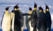 Chen chân giành bạn tình, chim cánh cụt cái thua thảm hại