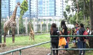 Du khách đổ xô xem hươu cao cổ mới sinh trong Thảo Cầm Viên Sài Gòn