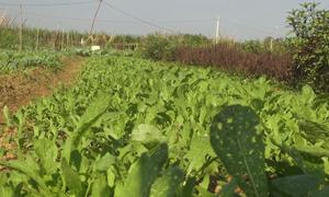 Vùng trồng rau hữu cơ hơn 40 ha ở Hòa Bình