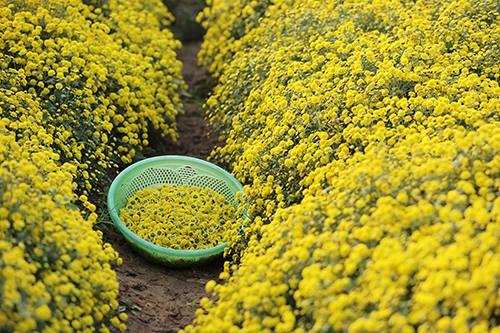 Hoa cúc chi ở phố Hiến (Hưng Yên) vàng rực trong mùa đông. Ảnh: Ngọc Thành