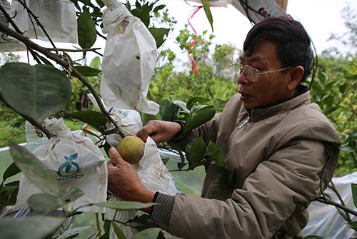 Ông Hưởng dùng túi nilon bọc từn quả cam để tránh bị ruồi đục. Ảnh: Nguyễn Hải.
