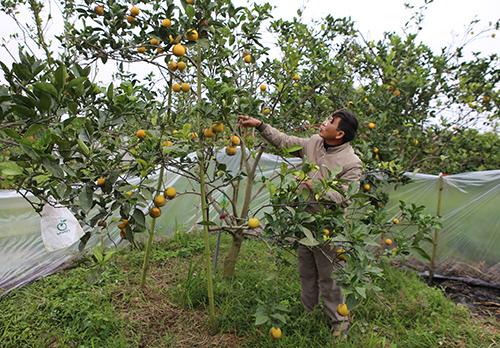 Một gốc cam còn sây trái nhất tại vườn cam của một hộ dân ở xã Nghi Diên. Ảnh: Nguyễn Hải.