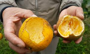 Nhiều hộ trồng cam Xã Đoài thất thu do ruồi vàng và chuột cắn phá