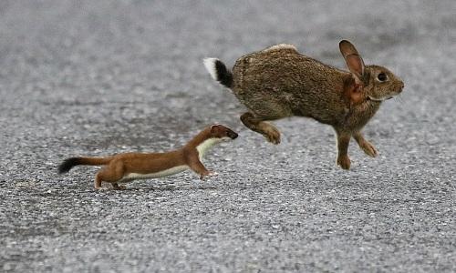 Chồn ecmin đuổi thỏ rừng. Ảnh: Scott Honeyman.