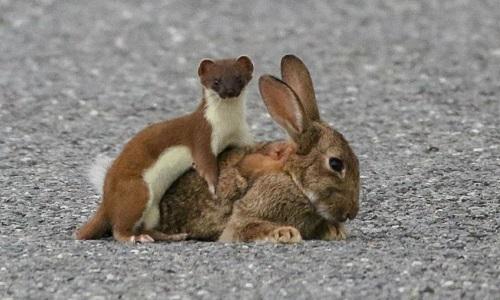 Chồn ecmin ghì chặt thỏ xuống đất. Ảnh: Scott Honeyman.