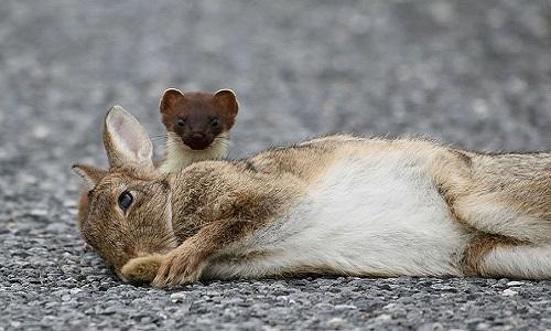 Con thỏ nằm im bất động chờ chết. Ảnh: Scott Honeyman.