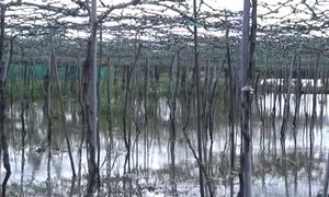 Những vườn nho chết úng ở Ninh Thuận