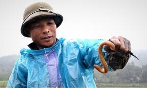 Nông dân Thanh Hóa bới bùn bắt lươn trước vụ cấy