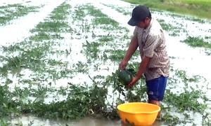 Hàng chục hecta dưa hấu bị nhấn chìm ở Cà Mau