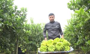 Vườn phật thủ mang lại hàng tỷ đồng cho nông dân Hà Nội