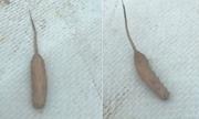 Giòi đuôi chuột xuất hiện dưới hồ nước Australia