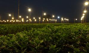 Nông dân Tây Tựu thắp điện đêm căn hoa nở đúng vụ Tết