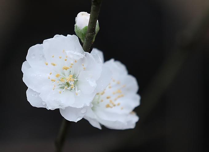 Vườn hoa đào Nhật Tân nhộn nhịp trước Tết