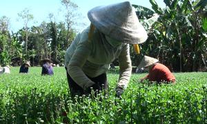 Hàng trăm người dân Đồng Nai kiếm tiền từ việc ngắt nụ hoa Tết