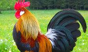 Vì sao gà, vịt trước khi chết hẳn thường giãy đạp mạnh?