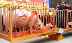 'Vua lợn' hơn 900 kg ở Trung Quốc