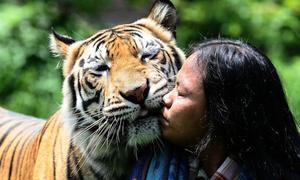 Người đàn ông Indonesia 6 năm làm 'bảo mẫu' cho hổ