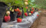 Hái dâu tây trong khu vườn 4.000 m2 giữa Hà Nội