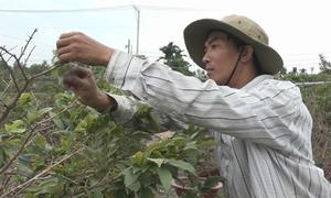 Nhiều vườn mai tại TP HCM ngắt lá đón Tết