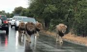 Hàng loạt ôtô nhường đường cho đàn sư tử đi bộ