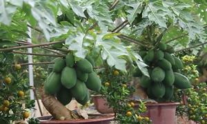 Đu đủ bonsai giá hàng triệu đồng bán dịp Tết