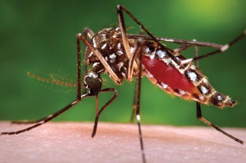 Muỗi hút máu. Ảnh hinh họa: ST.