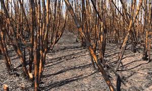 Hơn 100 ha mía tại Đăk Lăk cháy rụi trước ngày thu hoạch