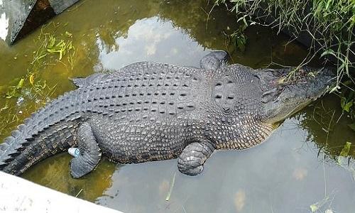 Con cá sấu tấn công Deasy. Ảnh: Viral Press.