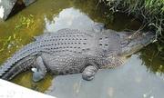 Nhà khoa học bị cá sấu dài 5 m ăn sống ở Indonesia