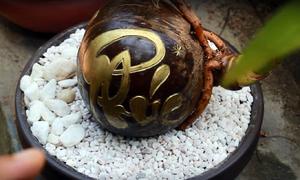 Bonsai tiền triệu từ trái dừa khô bỏ đi