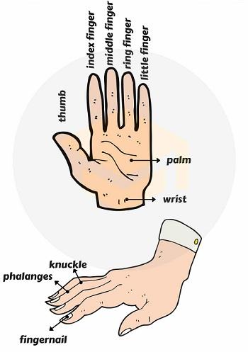 Từ vựng tiếng Anh chỉ các phần trên bàn tay