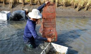 Nông dân Cà Mau lội ruộng thu hoạch tôm càng xanh bán Tết
