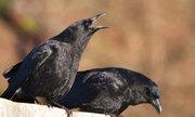 Tại sao nhiều người sợ chim sa xuống, bay vào nhà?