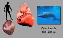 Những loài động vật có quả tim lớn nhất trong tự nhiên