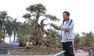 Đỗ quyên bonsai gần 400 tuổi giá một tỷ đồng tại Hà Nội