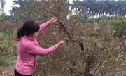 Hàng trăm gốc đào thế bị phá trộm tại Bắc Ninh