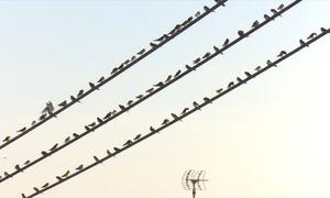 Hàng nghìn chim én đậu kín dây điện ở Đồng Tháp