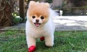 'Chú chó dễ thương nhất thế giới' qua đời