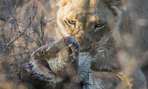 Sư tử cái đoạt mạng cá sấu to ngang ngửa. Ảnh: Mike Sutherland.