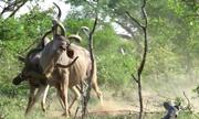 Linh dương đọ sừng để phô diễn sức mạnh