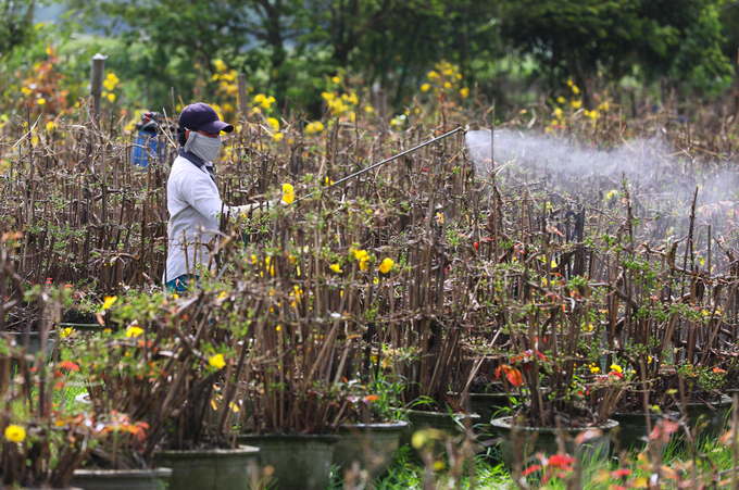 Làng hoa mai ở Bình Định nhộn nhịp vào mùa Tết