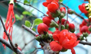 Mai đỏ Trung Quốc về phố Sài Gòn