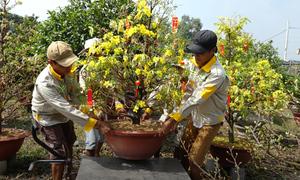Cho thuê mai, quất kiểng giá hàng chục triệu đồng mỗi cây ở Sài Gòn