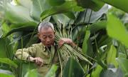 Nhà vườn chi tiền triệu thuê thợ cắt lá dong dịp Tết