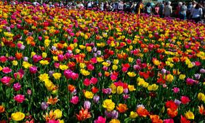 Du khách được lấy hoa tulip miễn phí tại Hà Lan