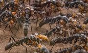Có phải loài kiến có khả năng dự báo lũ lụt?